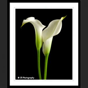 White Calla Lilies 43f - 8x10 Matted Photograph