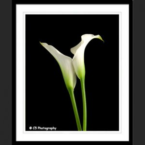 White Calla Lilies 43g - 8x10 Matted Photograph