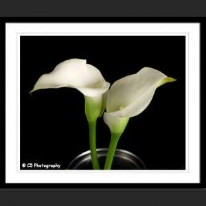 White Calla Lilies 43j - 8x10 Matted Photograph