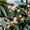 Eucalyptus Australiana (Eucalyptus radiata)