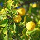 Lemon - Cold Pressed (Citrus limonum)