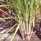 Lemongrass Cochin (Cymbopogon flexuosus)
