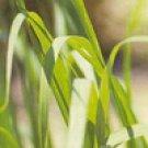 Citronella Ceylon (Cymbopogon nardus)