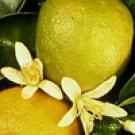 Bergamot Calabrian 10 ml