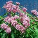 Cinderella Milkweed ( Asclepias incarnata ) - 30 seeds ~gemsandstems.info~