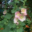 Cottage Mix Hollyhocks ( Alcea rosea ) - 30 seeds ~gemsandstems.info~
