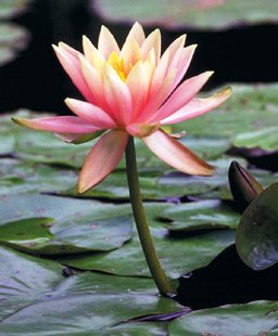 Colorado Water Lily ( Nymphaea ) - 1 live plant ~gemsandstems.info~