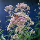 Joe Pye Weed ( Eupatorium fistulosum ) - 30 seeds ~gemsandstems.info~