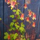 Canadian Columbine ( Aquilegia canadensis ) - 15 seeds ~gemsandstems.info~
