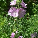 Hollyhock Mallow ( Malva alcea ) - 15 seeds ~gemsandstems.info~