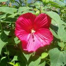 Crimson Wonder Swamp Mallow ( Hibiscus moscheutos ) - 15 seeds ~gemsandstems.info~
