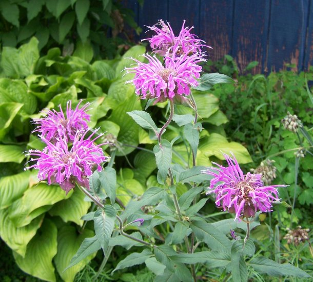 VIOLET QUEEN Bee Balm ( Monarda didyma ) - 1 live plant division ~gemsandstems.info~