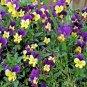 Helen Mount ( Viola ) - 1 plant division ~gemsandstems.info~