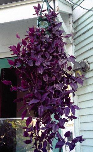 Purple wandering jew tradescantia zebrina 1 live plant - Wandering jew care ...