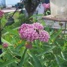 SOUL MATE Milkweed ( Asclepias incarnata ) - 30 seeds ~gemsandstems.info~