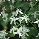 Sweet Autumn Clematis ( terniflora ) - 15 seeds  ~gemsandstems.info~