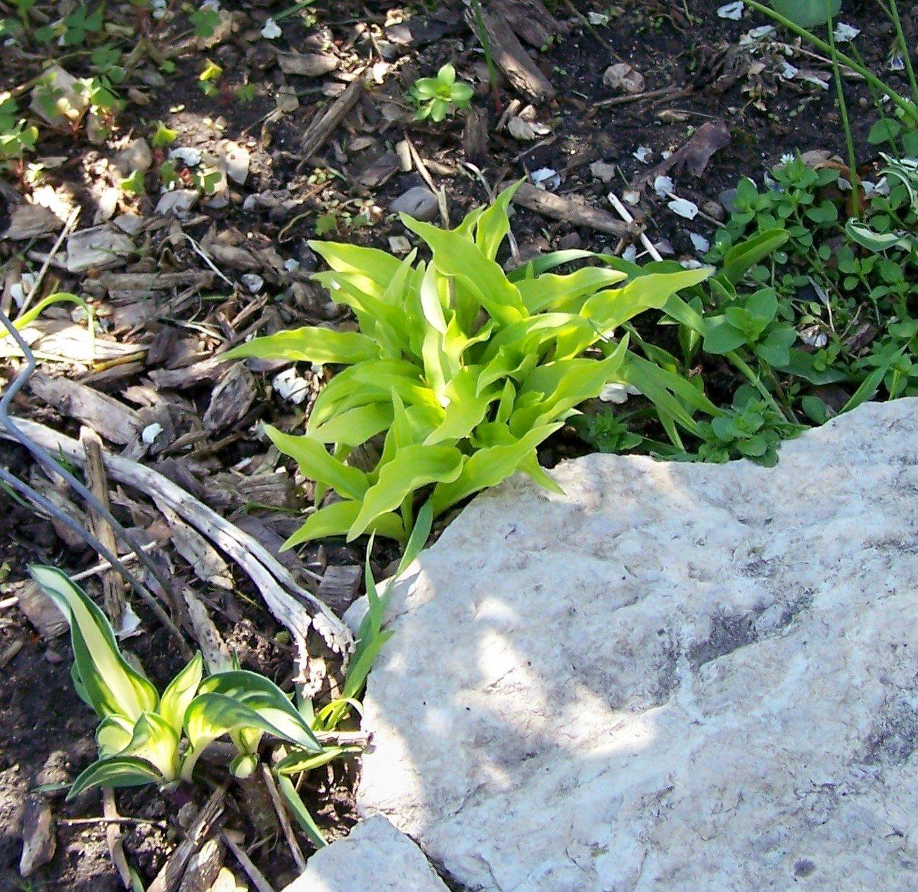 Lemon Lime ( Hosta ) - 1 live plant division ~gemsandstems.info~