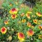 BLANKET FLOWER ( Gaillardia x grandiflora ) - 30 seeds ~gemsandstems.info~