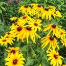 Gloriosa Daisy ( Rudbeckia hirta ) - 15 seeds ~gemsandstems.info~