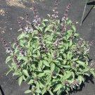 THAI Basil ( Ocimum x citriodorum) - 15 seeds ~gemsandstems.info~