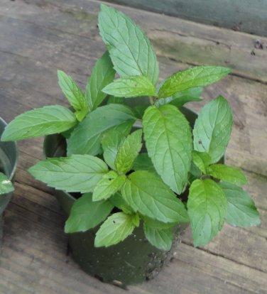 Peppermint ( Mentha piperita  ) - 1 plant division ~gemsandstems.info~