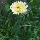 Kilimanjaro White Marigold ( Tagetes erecta ) - 15 seeds  ~gemsandstems.info~
