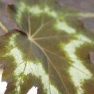 Begonia 'tye dye'  20+ seeds - very rare plant