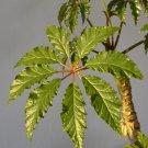 Begonia carolineifolia 20+ seeds - rare Begonia species