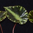 Begonia cleopatrae 20 seeds