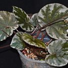 Begonia koksunii - 20 seeds - very rare Begonia species