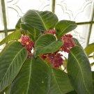Corytoplectus capitatus  20 seeds - very rare Gesneriad
