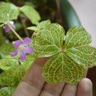 Oxalis corymbosa aureo reticulata - 5 bulbs - rare plant