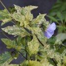 Nicandra physaloides variegata - 10 seeds