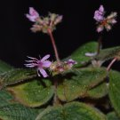 Phyllagathis prostrata 20 seeds -Thailand Melastomataceae extremely rare plant