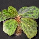 Begonia blancii mottled - 20 seeds - extremely rare plant
