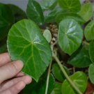 Begonia kellermanii  20+ seeds - very rare plant