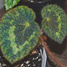 Begonia sizemoreae- 20+ seeds - rare Begonia species