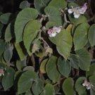 Begonia tomentosa  20+ seeds - rare Begonia species