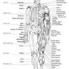 Vinteja charts of - Ideal Proportions - A3 Paper Print