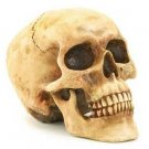 3624500: Artistic Detailed Faux Human Skull - Your friends will think it's REAL!