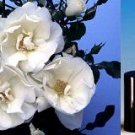SPECIAL: SHPG INCLD 1 Dram Roll-on Bottle of Cherry Blossom Fragrance Oil