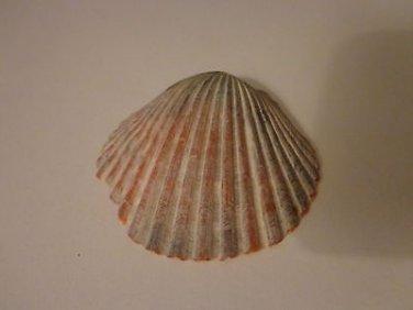 Genuine Sea Shell