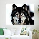 Arctic Wolf  Art Poster Print  24x18 inch