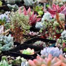 Authentic Chinese 50 seeds/pack Bonsai Succulent Plants Seeds