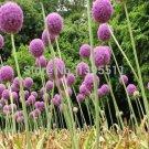 100 Purple Giant Allium Giganteum Beautiful Flower Seeds