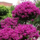 50 Pcs Authentic Bougainvillea Spectabilis Flower Seeds