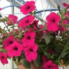 200 Pcs Authentic petunia seeds balcony Flower Seeds