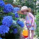 Blue Hydrangea Seeds Flower Seeds Garden Flower Seeds 10 Seeds db