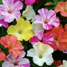 Four-o'clock Mirablils jalapa Linn Flower Seeds 20 Seeds Mix Color db