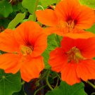 Orange Garden Nasturtium Tropaeolun Flower Seeds 6 Seeds db